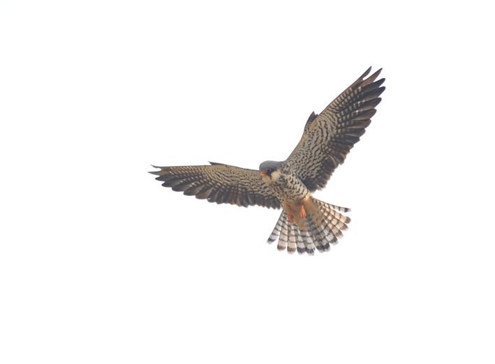 정지비행하는-비둘기조롱이-q.jpg