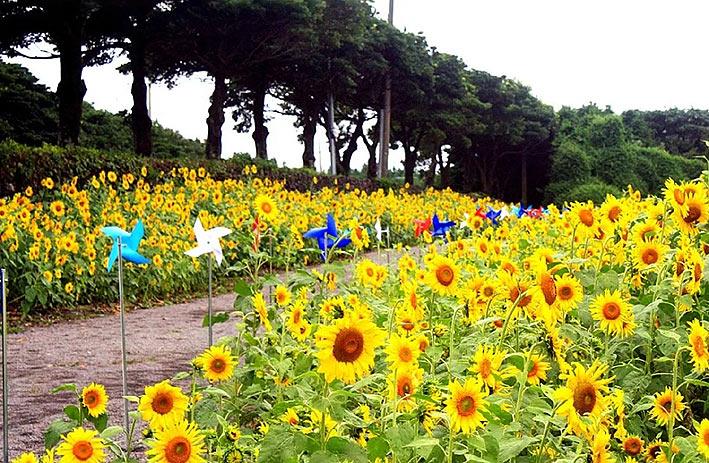 렛츠런팜-제주-해바라기밭-(2.jpg