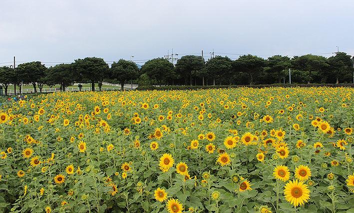 렛츠런팜-제주-해바라기밭-(3.jpg