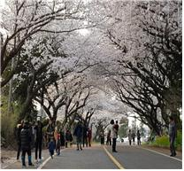 ( 3.   12.  애월읍) 벚꽃향기 가득한 애월의 새봄, 제28회 제주왕벚꽃축제 개막에 앞서(2).jpg