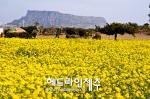 성큼 다가온 봄...노랗게 물든 '유채꽃 향기'