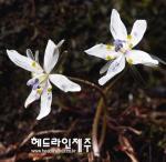 변산바람꽃, 봄비 소리에 잠깨었나