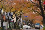 가을 끝자락, 도심지 거리의 마지막 단풍