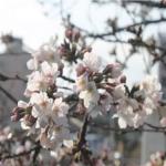 벚꽃, 화창한 날씨에 일찍 꽃망울...지역별 개화 시기는?
