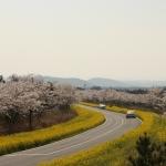 봄을 잇는 마을, 가시리...제주유채꽃축제 잔칫상 준비에 '한창'