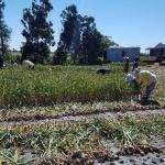 농협은행 서광로지점 농촌일손돕기 나눔활동