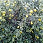 제주농업기술원, '제주산 레몬' 재배기술 보급 박차