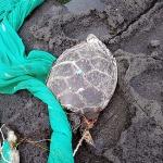 제주서 그물에 걸린 멸종위기종 푸른바다거북 사체 발견