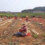 고산농협 농가주부모임, 조생양파 수확 전개