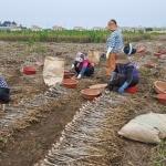 대정읍에 국비지원 마늘 종자생산기반 구축 본격화