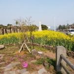 안덕면, 봄의 전령사 유채꽃 주요도로변 만개