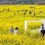 """노란 유채꽃 만발...""""주말 나들이는 제주유채꽃축제로"""""""