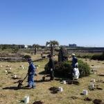 표선면, 멸종야생식물 Ⅱ급 황근 노랑무궁화 식재