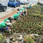화북동 새마을부녀회, 도로변 공한지에 백일홍 4500본 식재